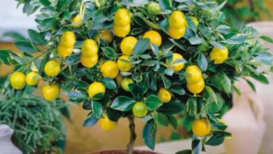 Photo of 6 razloga zašto su limuni ključni u vašoj rutini lepote