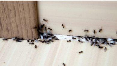 Photo of Ako i vi imate problem da vam mravi dolaze u kucu ili stan evo kako da ih se riješite.